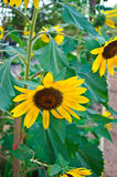 Blooming sunflowers stock photography
