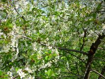 Blooming sweet cherry in late spring. The cherry blossoms bloom in the gardens, warm and bright this late spring royalty free stock images