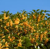Blooming Sweet olive. Orange osmanthus ( Sweet olive ) used for perfume and tea fragrance royalty free stock photo