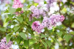 Blooming Syringa bush. Soft focus Stock Photography