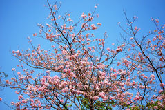 Blooming of tabebuia Stock Photo