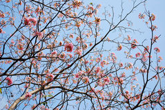Blooming of tabebuia Stock Images