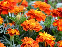 Blooming Tagetes flowers in garden. Tagetes blooming, red orange yellow petals, bulbs, colorfuly flowers royalty free stock image