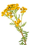 Blooming Tanacetum Stock Images
