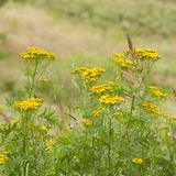 Blooming tansy in a field or on a meadow. Blooming tansy in a summer field or on a meadow Royalty Free Stock Photography