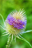 Blooming teasel Royalty Free Stock Photo