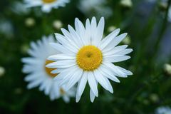 Tender daisies in the summertime. Blooming tender daisies with rain drops in the summer time in a sunny weather Stock Photography