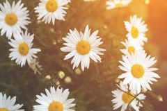 Tender daisies in the summertime Royalty Free Stock Image