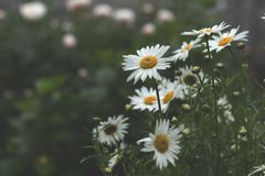 Tender daisies in the summertime Royalty Free Stock Photo
