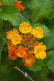 Blooming Texas Lantana Royalty Free Stock Images