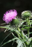 Blooming thistle. On the dark background Royalty Free Stock Photos