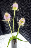 Blooming thistle in black vase Stock Images