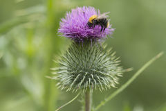 A blooming thistle with a bumblebee. A close up of a blooming thistle with a bumblebee Royalty Free Stock Photography