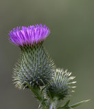 Blooming Thistle Stock Photo