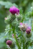 Blooming thistle closeup outdoor vertical Stock Images