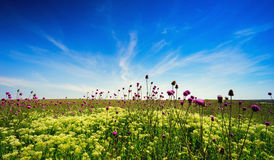 Blooming Thistle in the field . Crimea , Tarhankut. Royalty Free Stock Images