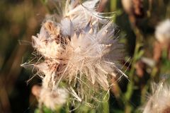 Blooming thistle with fluffy florets Royalty Free Stock Images