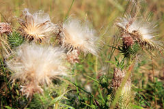 Blooming thistle with fluffy florets Stock Photos