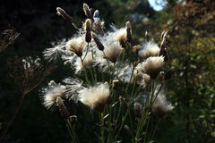 Blooming thistle with fluffy florets Stock Photography
