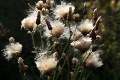 Blooming thistle with fluffy florets Royalty Free Stock Photography