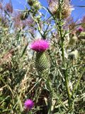 Blooming thistle Royalty Free Stock Images