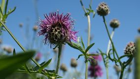 Blooming thistle on a summer meadow Royalty Free Stock Photography