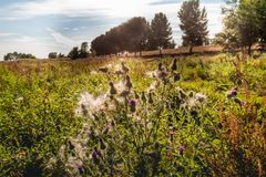 Blooming thistles and other wild plants in backlight Royalty Free Stock Image