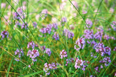 Blooming thyme flowers royalty free stock photos