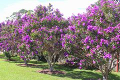 Blooming Tibouchina Urvilleana flowers in Tamborine Mountain National Park, Queensland, Australia. Colorful blooming Tibouchina Urvilleana plants in Tamborine stock image