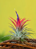 Blooming Tillandsia ionantha Stock Photos