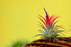 Blooming Tillandsia ionantha Royalty Free Stock Photo