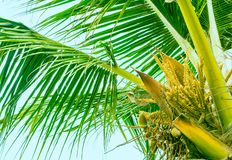 Blooming top of palm tree stock images