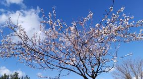Blooming tree. Çanakkale Gallipoli is a tree that blooms in spring Stock Photography