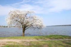 Blooming tree Stock Image