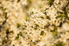Blooming Tree. Blossom apple tree branch Royalty Free Stock Image