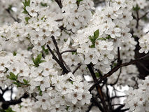 Blooming tree. In springtime,background view stock image