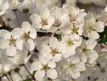 Blooming tree. Blooming plum tree royalty free stock photo