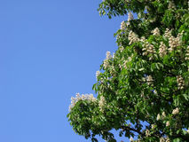 Blooming tree. Blooming Horse Chestnut tree Stock Photos