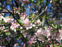 Blooming tree. Blooming apple tree in spring royalty free stock photos