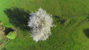 Blooming tree from above stock video footage