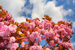 Blooming tree against Stock Photography