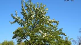 Blooming tree against blue sky stock video footage
