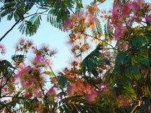Blooming tree with amazing pinkish colors. Just looked up and saw this, while walking on the street stock photos