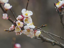 Blooming tree apricot branch with white flowers Royalty Free Stock Image
