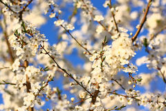 Blooming tree as background Stock Image