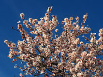 Blooming tree. Beautiful scene with blooming tree on blue background Royalty Free Stock Image