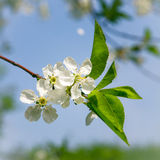 Blooming tree on beautiful sky background, stock photo