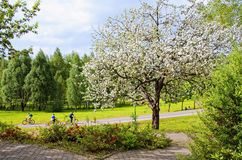Blooming tree and bicyclers Stock Photos