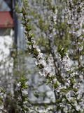 Blooming tree Royalty Free Stock Photography