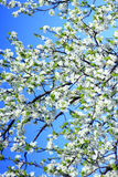 Blooming of tree and blue sky in the spring Royalty Free Stock Image